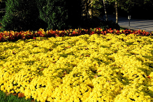 Carpet of mums