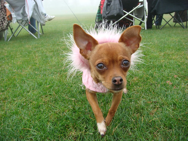 Funny Puppy Cute Chihuahua With a Pink Dress