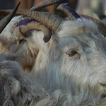 Kashgar Animal Market: Goats for Sale - China