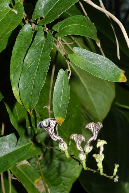 Pararistolochia deltantha 080101-1765