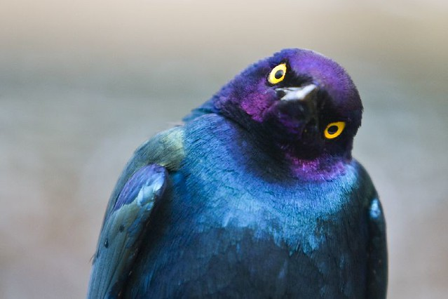 A Quizzical Purple Glossy Starling