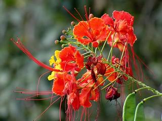 Flamboyãzinho (Caesalpinia pulcherrima)
