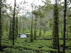 Vandiperiyar, India