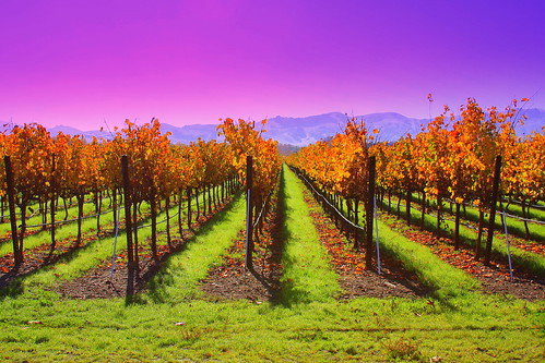 california ca blue sunset red sky orange green colors beautiful grass leaves yellow america sunrise canon bay pretty purple wine united north vivid changing vineyards valley grapes area napa states livermore pleasanton 40d