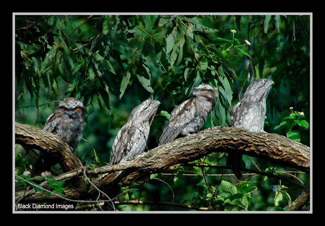 Podargus strigoides - Tawney Frogmouths at Crystal Castle near Mullumbimby