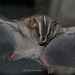 White-lined Broad-nosed Bat - Photo (c) Arthur Tahara, some rights reserved (CC BY-NC-ND)