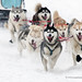 Siberian huskies sled dog team by My Planet Experience