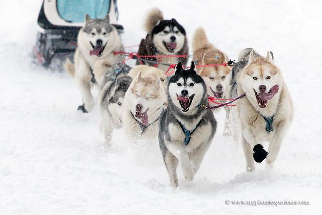 Siberian huskies sled dog team