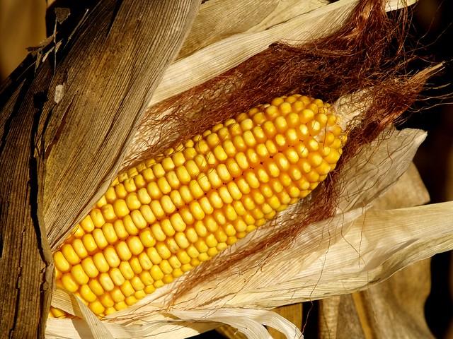 Cultivo del maíz | Planeta Huerto