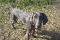 dog breed, animal, blue lacy, dog, pet, weimaraner, hunting dog, carnivoran,