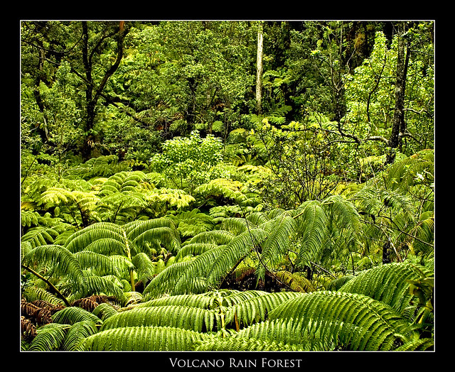 Rainforest On The Big Island: Volcano Rainforest.....Volcanoes National Park-Big Island