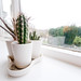 Small photo of Sill Cacti