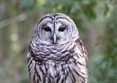 animal(1.0), bird of prey(1.0), owl(1.0), wing(1.0), fauna(1.0), close-up(1.0), buzzard(1.0), beak(1.0), great grey owl(1.0), bird(1.0), wildlife(1.0),