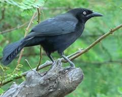 nightingale(0.0), cinclidae(0.0), emberizidae(0.0), rook(0.0), animal(1.0), branch(1.0), raven(1.0), crow(1.0), fauna(1.0), american crow(1.0), beak(1.0), blackbird(1.0), bird(1.0), wildlife(1.0),
