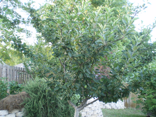 Our apple tree trimmed to stay small flickr photo sharing for Trees that stay small