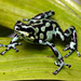 Vicente's Poison Frog - Photo (c) Brad Wilson, all rights reserved