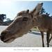 Deer (Extreme Closeup!) - Nara 2010 by jensrudnick