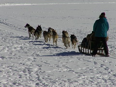 dog, winter, vehicle, snow, pet, mushing, dog sled, sled dog racing, sled,