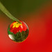 Dewdrop flower refraction #1 by Lord V