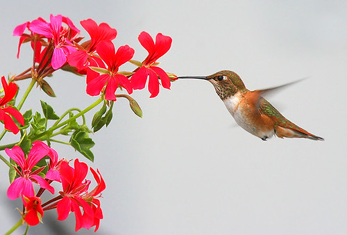 Rufous Hummingbird and Geranium