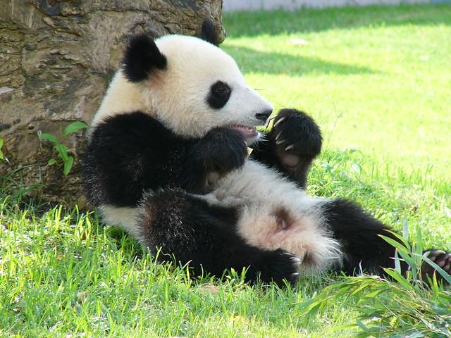 Panda bite - photo#14