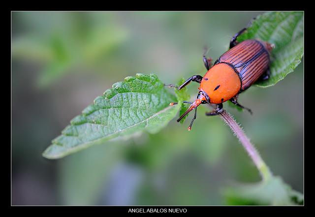 Picudo Rojo (Rhynchophorus ferrugineus Olivier)