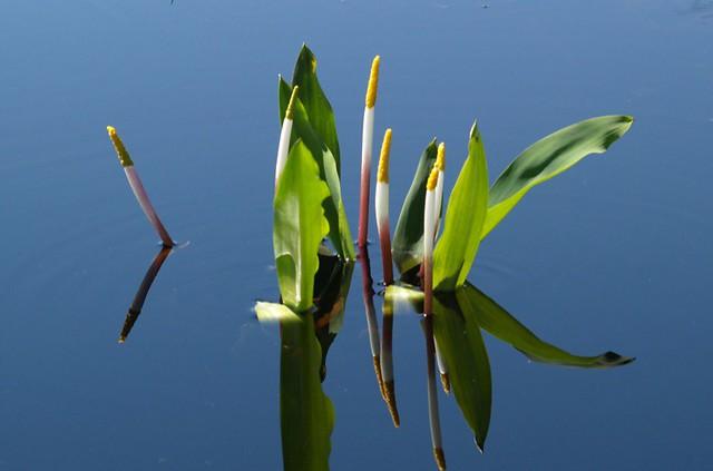 never-wet Orontium aquaticum neverwet