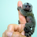 Baby marmoset  by floridapfe