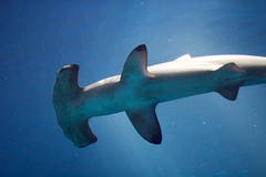 animal, fish, great white shark, marine biology, underwater, cartilaginous fish, carcharhiniformes,