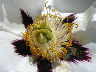 paeonia and stamens
