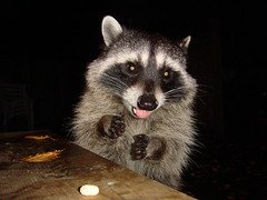 opossum(0.0), virginia opossum(0.0), common opossum(0.0), viverridae(0.0), animal(1.0), raccoon(1.0), mammal(1.0), fauna(1.0), whiskers(1.0), procyon(1.0),