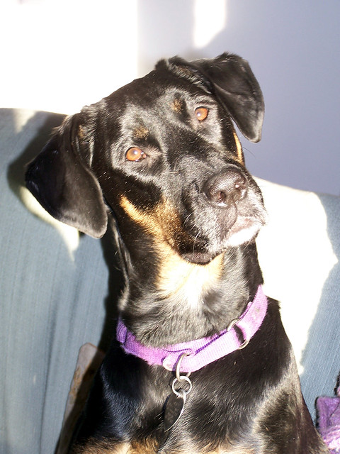 Lola, Doberman mix rescued dog, forever in my heart #LapdogCreations