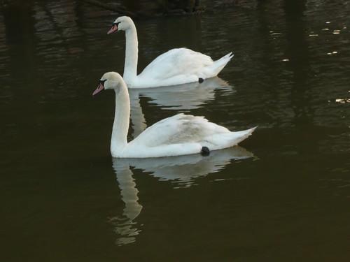 A Pair Of Swans At Sun Pier,Chatham,Kent by john47kent