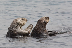 Sea Otters in Morro Bay, CA 06 May 2008