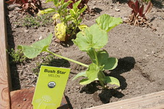 Bush Star Cantaloupe