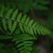Dryopteris intermedia, Common Woodfern