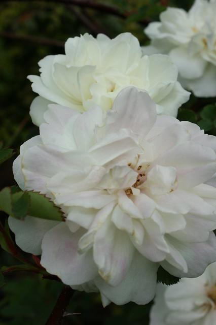 Rose (white floribunda)