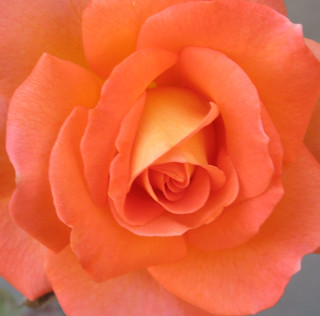 A peach rose with a touch of yellow.