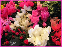 shrub(0.0), flower(1.0), plant(1.0), flora(1.0), cyclamen(1.0), petal(1.0),