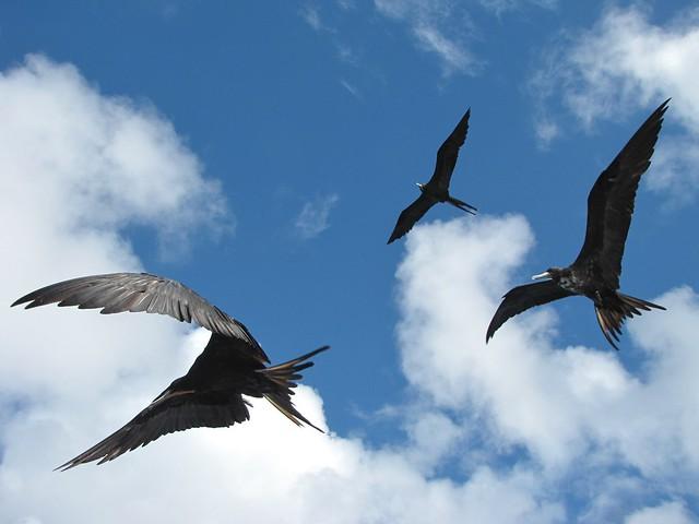 Fregatas en Fernando de Noronha, Parque Nacional Marino, Islas Atlánticas, Brasil
