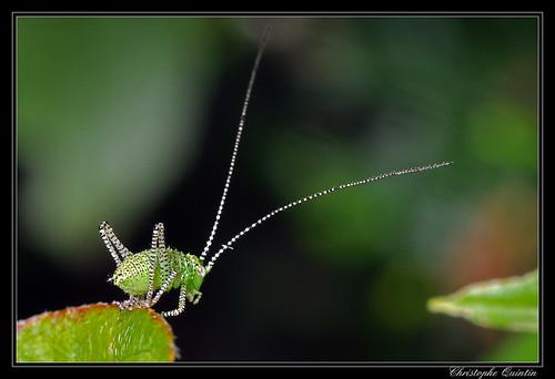 Sauterelle ponctuée juvénile (Leptophyes punctatissima)
