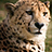 the Cheetah, mother nature's masterpiece! group icon