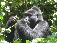 gibbon(0.0), chimpanzee(0.0), new world monkey(0.0), animal(1.0), western gorilla(1.0), mammal(1.0), great ape(1.0), gorilla(1.0), fauna(1.0), common chimpanzee(1.0), ape(1.0),