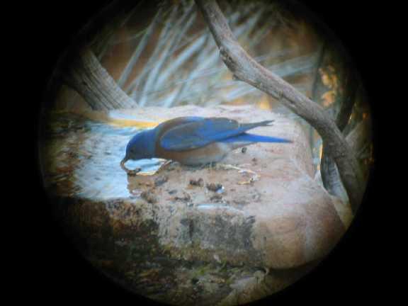 Western Bluebird male FEB03