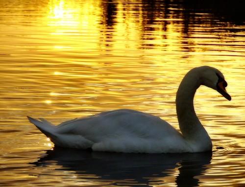 morning water sunrise canal cheshire cygnet swans soe bridgewater lymm anawesomeshot