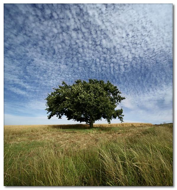 Oak Tree (Vertorama)