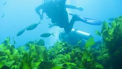 reef(0.0), coral reef(1.0), algae(1.0), seaweed(1.0), fish(1.0), coral reef fish(1.0), macrocystis pyrifera(1.0), sea(1.0), ocean(1.0), marine biology(1.0), underwater(1.0), kelp(1.0),