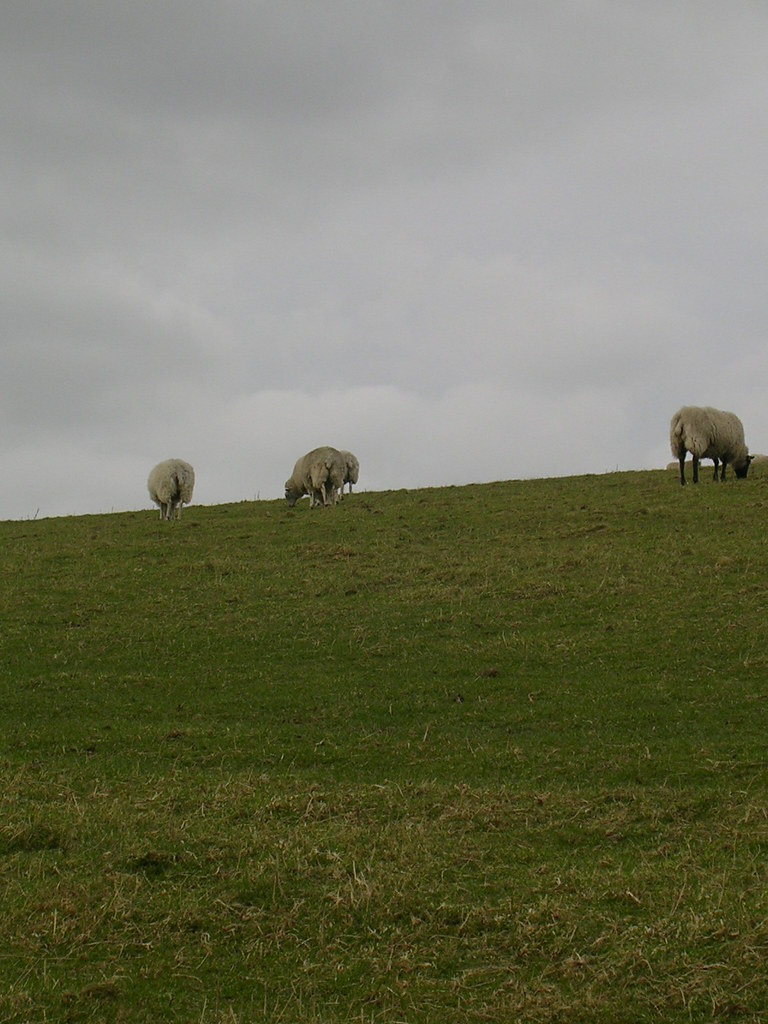 More sheep Hassocks to Upper Beeding