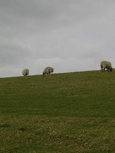 More sheep