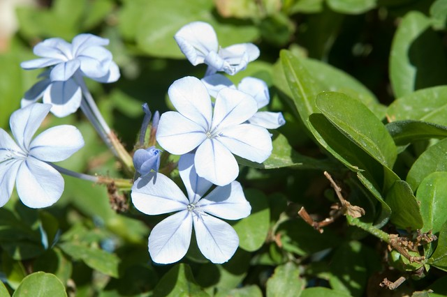 Plumbago flowers. Vacation in Egypt